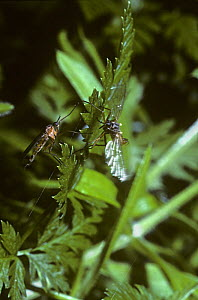 Dance fly (Empis stercorea) male (right) vibrating his wings in courtship of the female, UK  -  Premaphotos