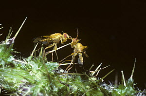 Large fruit fly (Xyphosia miliaria) two males sparring during rivalry, UK - Premaphotos