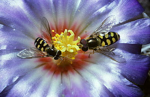 Lunar icon hoverfly (Metasyrphus luniger) male (left) and female on a cactus flower in a greenhouse, UK - Premaphotos