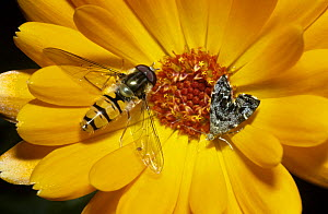 Marmalade icon hoverfly (Episyrphus balteatus) male alongside Micro moth (Anthophila fabriciana) on Marigold flower in a garden, UK - Premaphotos
