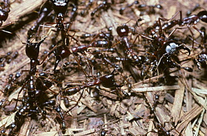 Driver / African army ant (Dorylus nigricans) soldier ants guarding a column of worker ants, Kenya  -  Premaphotos