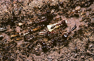 Driver / African army ant (Dorylus nigricans) ants moving the contents of their nest from one location to another, Kenya  -  Premaphotos