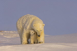 Polar bear (Ursus maritimus) mother with cub, newly emerged from their den on the Arctic coast, eastern Arctic National Wildlife Refuge, Alaska - Steven Kazlowski