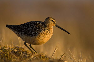 Short-billed dowitcher (Limnodromus griseus) on tundra near Point Barrow, National Petroleum Reserves, Arctic Alaska - Steven Kazlowski