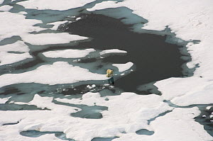 Polar bear (Ursus maritimus) sow and cub walking on multi-layer ice (freshwater pans formed over the years where the salt is squeezed out of the ice) on the Chukchi Sea, off the National Petroleum Res... - Steven Kazlowski