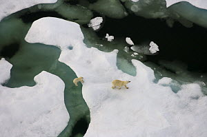 Polar bear (Ursus maritimus) sow with cub walking on multi-layer ice (freshwater pans formed over the years where the salt is squeezed out of the ice) on the Chukchi Sea, off the National Petroleum Re... - Steven Kazlowski