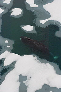 Bowhead whale (Balaena mysticetus) swimming amidst multi-layer ice (freshwater pans formed over many years where the salt is squeezed out of the ice) offshore from Point Barrow. Chukchi Sea, Arctic Al... - Steven Kazlowski