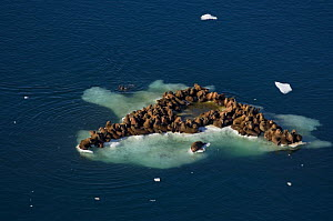Walrus (Odobenus rosmarus) herd resting on and swimming around a chunk of pack ice during the spring breakup. Chukchi Sea, off the National Petroleum Reserves, Alaska - Steven Kazlowski