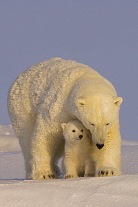 polar bear, Ursus maritimus, sow with newborn spring cubs newly emerged from their den, mouth of Canning River along the Arctic coast, eastern Arctic National Wildlife Refuge, Alaska  -  Steven Kazlowski