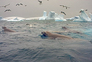 Crabeater seals (Lobodon carcinophagus) and seagulls feeding on a school of krill in waters off the western Antarctic Peninsula, Southern Ocean  -  Steven Kazlowski