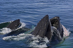 Humpback whales (Megaptera novaeangliae) surfacing and feeding in the waters off the western Antarctic Peninsula, Southern Ocean - Steven Kazlowski