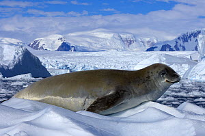 Crabeater seal (Lobodon carcinophagus) resting on ice along the western Antarctic Peninsula, Southern Ocean  -  Steven Kazlowski