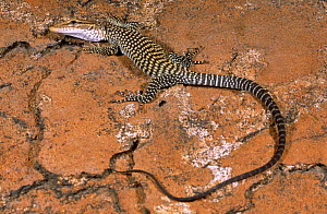 Black headed monitor {Varanus tristis tristis} juvenile with body lowered and frozen to avoid detection by a raptor flying above, West Australia - Robert Valentic