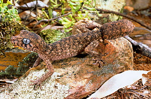 Granite belt thick tailed gecko (Uvidicolus sphyrurus) male with a regrown tail, New South Wales, Australia, Endangered - Robert Valentic