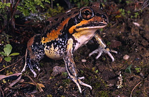Giant banjo frog {Limnodynastes interioris} New South Wales, Australia  -  Robert Valentic