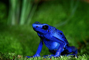 Blue Poison Dart Frog {Dendrobates azureus} captive, from Surinam, South America - Michael D. Kern