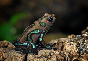 Green and black Poison Dart Frog {Dendrobates auratus} captive, from rainforests of Central America  -  Michael D. Kern