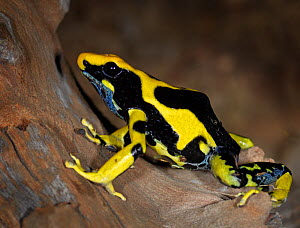 Dying Poison Dart Frog {Dendrobates tinctorius} captive, from South America - Michael D. Kern