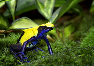 Dyeing Poison Dart Frog {Dendrobates tinctorius} captive, from Surinam, South America  -  Michael D. Kern