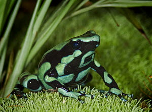 Green and Black Poison Dart Frog {Dendrobates auratus} captive, from Costa Rica  -  Michael D. Kern