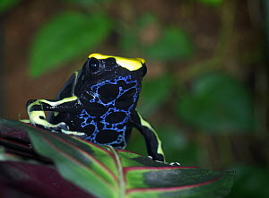 Dying Poison Dart Frog {Dendrobates tinctorius} 'Patricia', captive, from Surinam, South America - Michael D. Kern