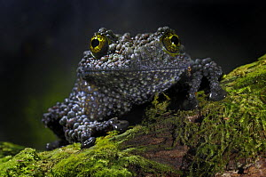 Vietnamese Mossy Frog {Theloderma corticale} captive, from Vietnam  -  Michael D. Kern