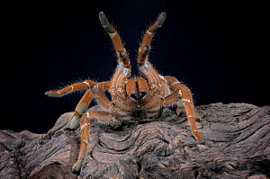 King Baboon Spider {Citharischius crawshayi} legs raised in defence posture, captive, from Kenya  -  Michael D. Kern
