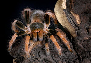 Columbian giant red leg tarantula {Megaphobema robustum} captive, from Columbia  -  Michael D. Kern