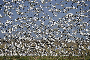 Flock of Snow geese {Chen caerulescens} some flying, some on ground, overwintering in central america  -  Michael D. Kern