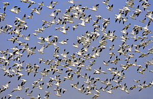 Flock of Snow geese {Chen caerulescens} flying, overwintering in central america  -  Michael D. Kern