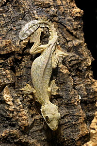 Flying / Kuhl's gecko {Ptychozoon kuhli} captive, from SE Asia - Michael D. Kern