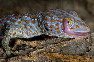 The Tokay gecko (Gekko gecko) licking its eye, captive, from Asia - Michael D. Kern