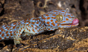 The Tokay gecko (Gekko gecko) licking, captive, from Asia - Michael D. Kern
