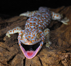 The Tokay gecko (Gekko gecko) mouth open, captive, from Asia - Michael D. Kern