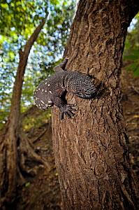 Guatemalan Beaded Lizard {Heloderma horridum charlesbogerti} climbing a tree, Montagua Valley, Guatemala Venomous species  -  Michael  D. Kern