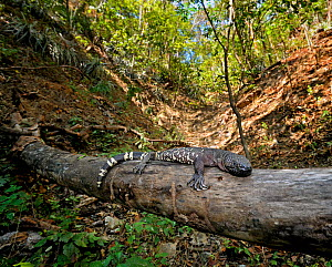 Guatemalan Beaded Lizard {Heloderma horridum charlesbogerti} in habitat, Montagua Valley, Guatemala Venomous species  -  Michael  D. Kern