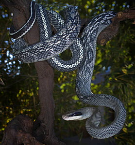 Beauty Snake / Cave racer {Elaphe taeniura grabowskyi} captive, native to Sumatra and the provinces of East Malaysia and Kalimantan on the island of Borneo.  -  Michael D. Kern