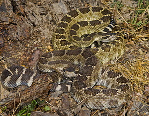 Northern Pacific Rattlesnake {Crotalus oreganus oreganus} captive, from Central and Northern California, USA - Michael D. Kern
