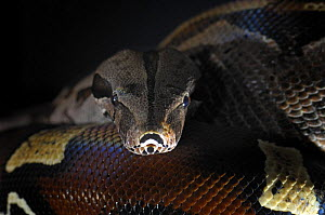 Red Tailed Boa {Boa constrictor constrictor} captive, from South America - Michael D. Kern