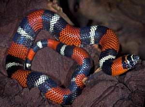 Tri-colour hognose snake {Lystrophis pulcher} captive, from South America  -  Michael D. Kern