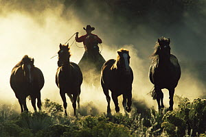 Cowboy rounding up horses at dawn, Colorado, USA. Model released  -  Shattil & Rozinski