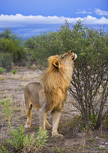 African lion {Panthera leo} male sniffing a scent mark, Etosha, Namibia, January - Sharon Heald