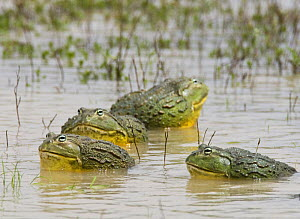 African bullfrogs {Pyxicephalus adspersus} group of males in water, Etosha NP, Namibia, January  -  Tony Heald