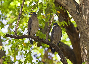 Crested Serpent Eagle [Spilornis cheela] two perched, Bandhavgarh NP, Madhya Pradesh, India, March  -  Tony Heald