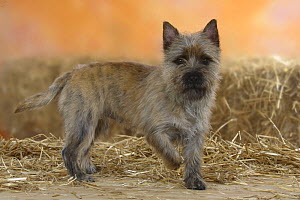 Cairn Terrier standing with one paw raised.  -  Petra Wegner