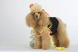 Apricot Miniature Poodle standing and wearing party clothes. - Petra Wegner