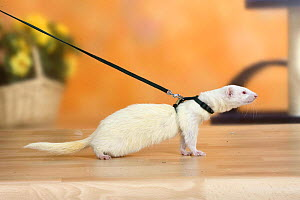 Albino ferret (Mustela putorius forma domestica) on leash - Petra Wegner