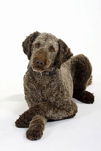 Brown sheared Standard Poodle lying down with paws crossed  -  Petra Wegner