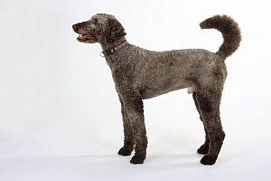 Brown sheared Standard Poodle standing in show stack / pose  -  Petra Wegner
