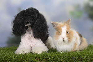 Harlequin Miniature Poodle lying next to a lion-maned dwarf rabbit - Petra Wegner